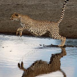 Cheetah Jumping by Patricia Kearton - Animals Lions, Tigers & Big Cats ( cheetah, jumping )