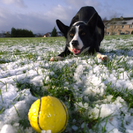 by Elaine Carty - Animals - Dogs Playing ( collie, ball, border collie, playful, pet, snow, outdoors, nokia phone, dog, mobile, animal,  )