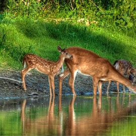 twins by Randy Langenberg - Digital Art Animals ( water, fawns, wildlife, river, deer )