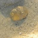 Jellyfish mesoglea