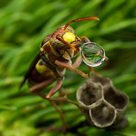 Wasp 150303B by Carrot Lim - Animals Insects & Spiders