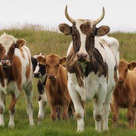 Family by Ólafur Ingi Ólafsson - Animals Other ( horns, brune, green, calf, white, cow, horn, kow, calfs, eyes, red, ear, ears, black, eye )