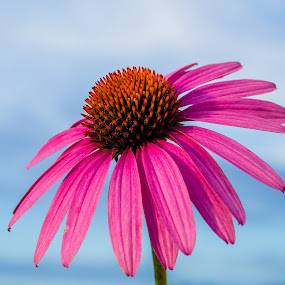 Majestic coneflower by Janice Poole - Flowers Single Flower ( blue sky, nature, pink, coneflower, colorful, mood factory, vibrant, happiness, January, moods, emotions, inspiration,  )