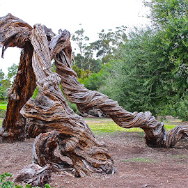 Ancient, Twisted Cypress Limbs by Kathy Suttles - Nature Up Close Trees & Bushes