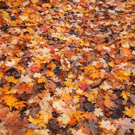 The fallen  by Peggy Hogsett - Nature Up Close Leaves & Grasses ( orange, red, nature, fall, trees, brown, yellow, leaves, color, colorful )