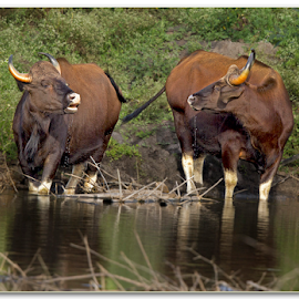 Why are you staring at me.  by Thirumoorti Ra - Animals Other Mammals ( indian gaur, mammals, wildlife, india, drinking water )