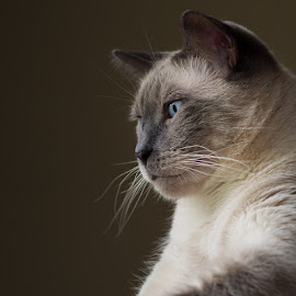 Cisco by Charles Birch - Animals - Cats Portraits ( siamese cat, siamese, portrait )