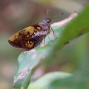 Arcalaus Ruby-eye Skipper