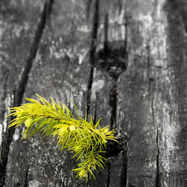 Starting Over  by Christian Windisch - Nature Up Close Trees & Bushes ( selective colour, wood, selective color, tree, green, grow, plank, old wood, sapling, close up,  )