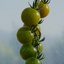 tomatoes by Matthew Lynam - Food & Drink Fruits & Vegetables ( vine, green, hothouse, tomatoes, farming )