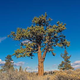 High Desert Tree by Andy Vic Lindblom - Nature Up Close Trees & Bushes ( oregon, sky, juniper, tree, high dessert, shrubs )