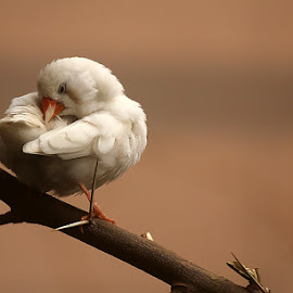 Finch by Abdul Rehman - Animals Birds ( canon, pakistan, multan, zebra finch, australia )