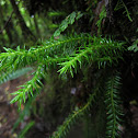 Common Tassel Fern