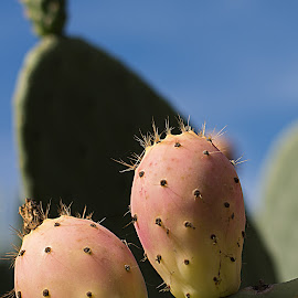 Prickly Pear by Mark Ahrens - Nature Up Close Gardens & Produce ( spike, fruit, spine, desert, sucullent, california, green, cactus juice, bristles, leave, prickly, juice, plumb, sticker, needle, cactus, pear )