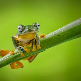 Alone by Dikky Oesin - Animals Amphibians ( frog, green tree, amphibian, jmp, animal )