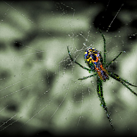 Dewdrop Inn by Kenneth Cox - Animals Insects & Spiders ( bugs, dewdrops, web, spider, morning dew, insects,  )