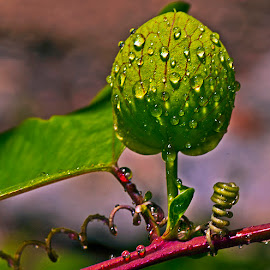 Drops on vine by David Winchester - Nature Up Close Other plants