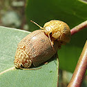 Tortoise leaf beetle paired