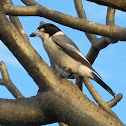 Pied Butcherbird (Adult)