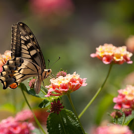 Butterfly and flowers by Xavier Barceló Pinya - Animals Insects & Spiders ( butterfly, verbena, pink, yellow, flowers, bokeh )