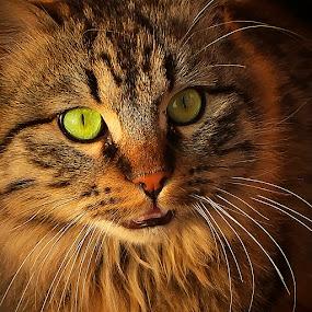 by Nicolaie Subotin - Animals - Cats Portraits (  )