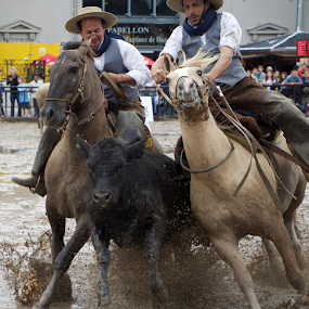 Criollo Horses:Paleteador Rodeo Competition by Venetia Featherstone-Witty - Sports & Fitness Rodeo/Bull Riding ( argentina, paleteador rodeo competition, horses, steer, rodeo, sport, criollo horses )