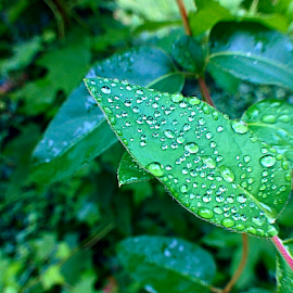 leaf drop by Richard Wright - Instagram & Mobile iPhone ( green, morning dew, leaf, rain )