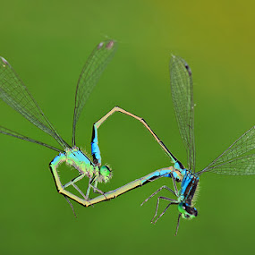 DragonHeart by MIhail Syarov - Animals Insects & Spiders ( love, heart, fly, green, dragonfly )