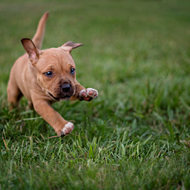 I'm Coming To Get You! by Justine Gallien - Animals - Dogs Running ( playing, puppy, dog, running, animal,  )