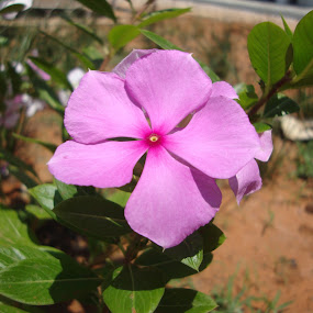 Pinky! by Swapnanil Dhol - Flowers Single Flower ( single, pink, flower )