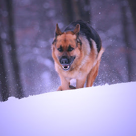 Running the snowy hill by Sue Delia - Animals - Dogs Running ( snow, german shepherd,  )