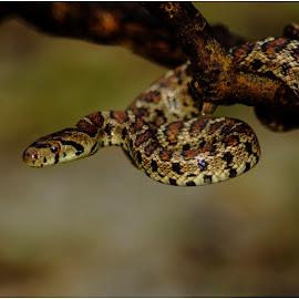 Elaphe situla by Lucijan Španić - Animals Reptiles ( snake, reptiles, reptile, snakes )