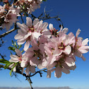 Almendro. Almond tree