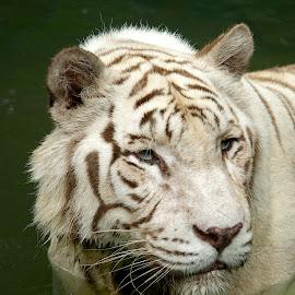 by Roger van Zandvoort - Animals Lions, Tigers & Big Cats