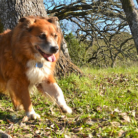 Beautiful Ginger by Greg Koehlmoos - Animals - Dogs Running ( happy running dog, happy doggies, beautiful smiles, happy doggie smiles, happy dog, beautiful fluffy dog,  )