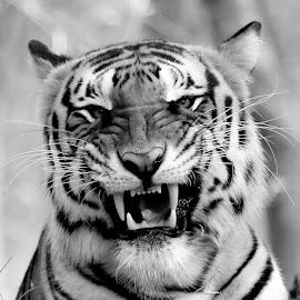 Tiger by S Balaji - Black & White Animals ( s.balaji, animals, nature, style, tiger, bannerghatta national park,  )