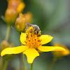 Halictus Bee