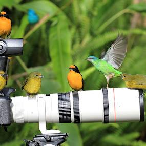 Resting! ! by Itamar Campos - Animals Birds ( gaturamo femea, saíra azul, gaturamo macho, femea )