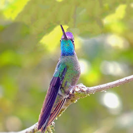 Magnificent Hummingbird  by Mauro Román - Animals Birds ( love, costarica, hummingbird, colors, birds )
