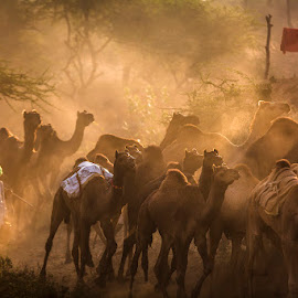 From Light. by Vinod Khapekar - People Street & Candids ( camel, pushkar, candid, india, morning, light )