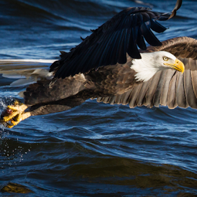 Stretch by Mike Trahan - Animals Birds ( bird, nature, bald eagle, catch, raptor, prey, flight. flying, mississippi )