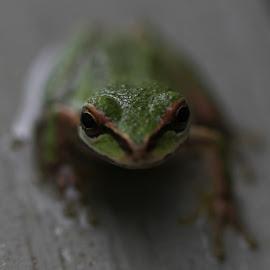 Macro Pacific Tree Frog by Sandra Woods - Animals Amphibians ( oregon, macro, frog, amphibian, animal,  )