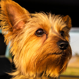 Emmie my photography buddy! by Greg Reeves - Animals - Dogs Portraits ( terriers, cuteness, dogs, silky terrier )