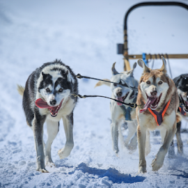 The Runaways  by Roberta Janik - Animals - Dogs Running ( sled dogs, dog sled race, dog sledding )