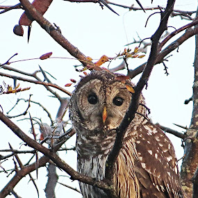 barred owl by Tracy Bumann - Animals Birds