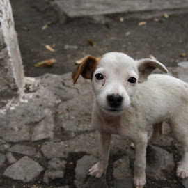 Eager Eyes by Tyler Rickenbach - Animals - Dogs Puppies ( santo antao, eager, puppy, dog, white puppy, cape verde, africa, hope )