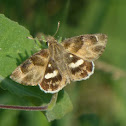African Marbled Skipper