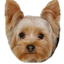 Yorkie Dog Picture Gallery