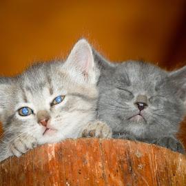 Bright light by Steve Wieseler - Animals - Cats Kittens ( white, larkspur colorado, eyes open, eyes closed, kittens, gray )