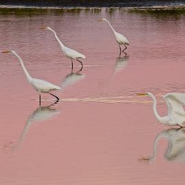 Great Egrets in pink by Dan Ferrin - Animals Birds ( bird, nature, wildlife, birds, egret, great egret )